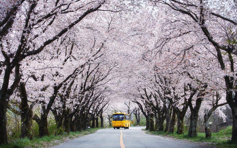 Gul buss som passerar tunnelen för körsbärsröd blomning fotografering för bildbyråer