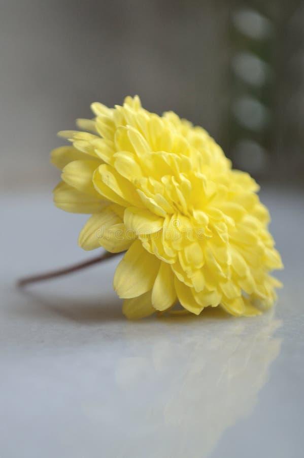 Gul chrysanthemumblomma arkivfoton