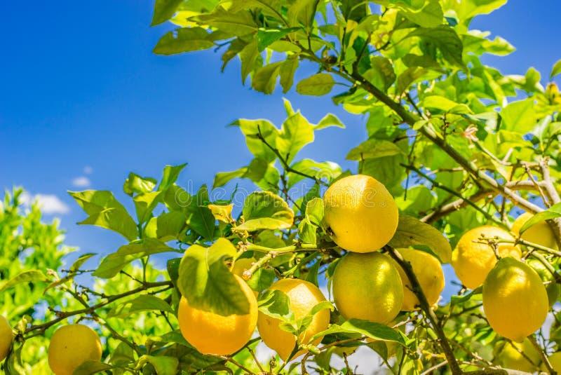 Gul citroncitrusfrukt som hänger på filial på citronträd arkivfoton