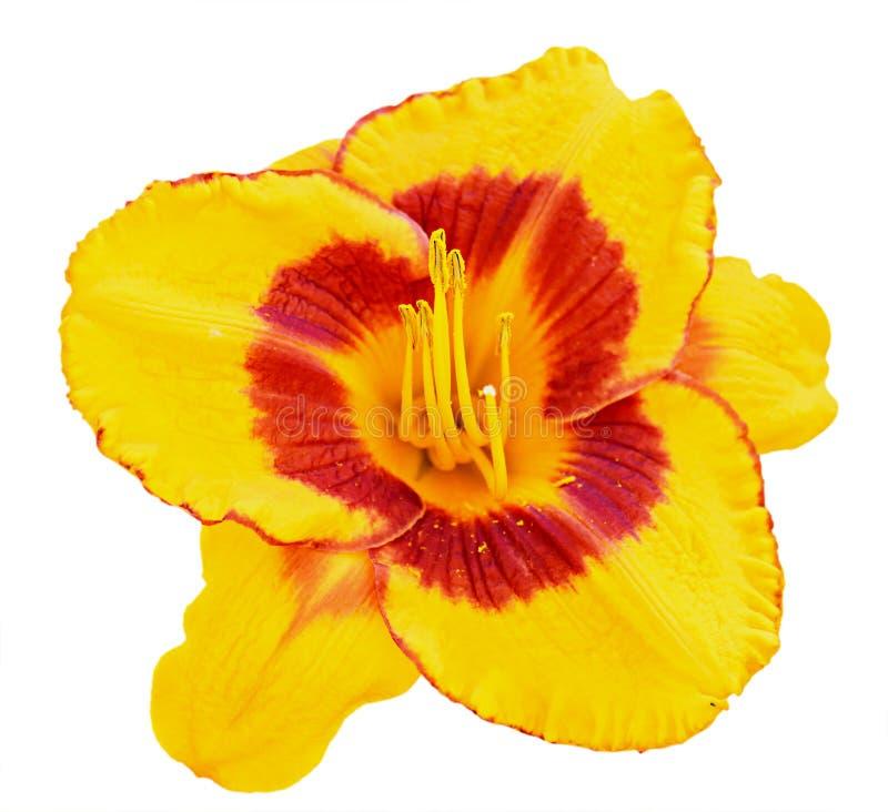 Gul closeup för daylily som (Hemerocallis) isoleras på vit royaltyfria bilder