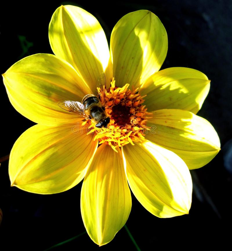 Gul dahlia med ett bi arkivfoton