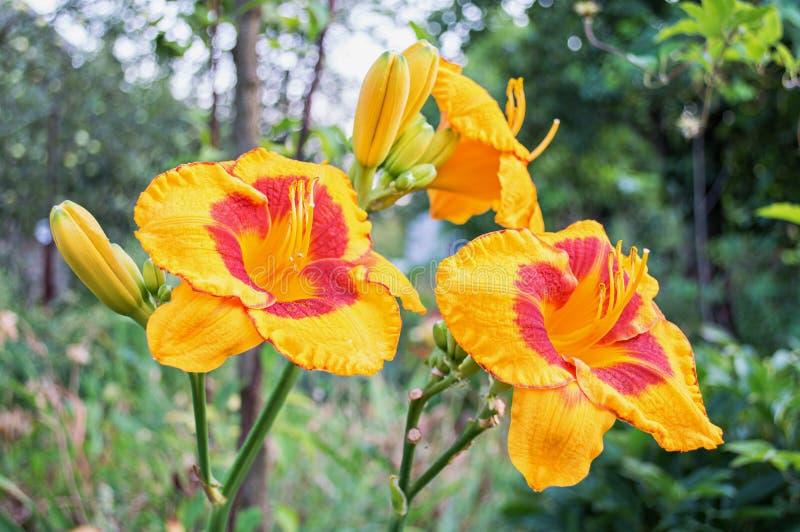 Gul daylily (Hemerocallis) i trädgården royaltyfri fotografi