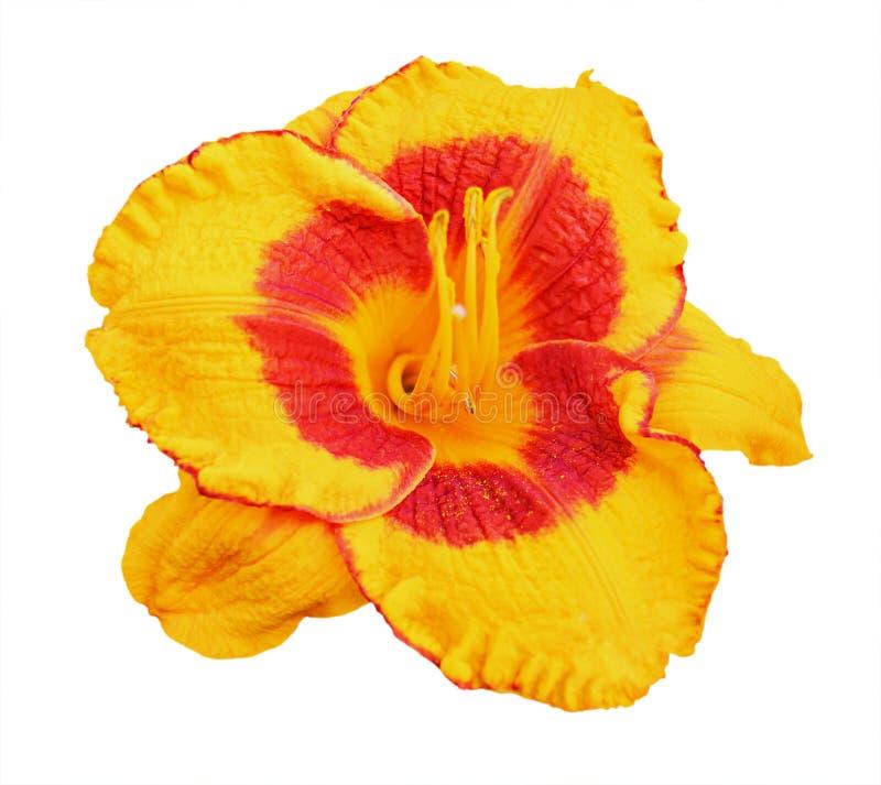Gul daylily (Hemerocallis) som isoleras på vit royaltyfria foton