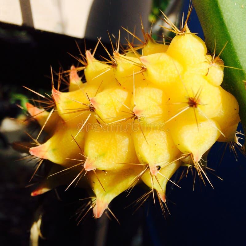 Gul dragonfruit arkivbilder