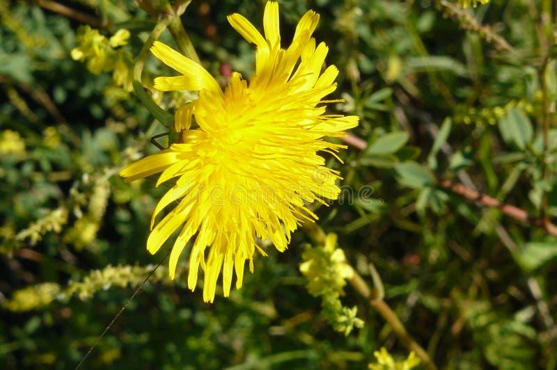 Gul fältblomma, solfärg arkivfoto