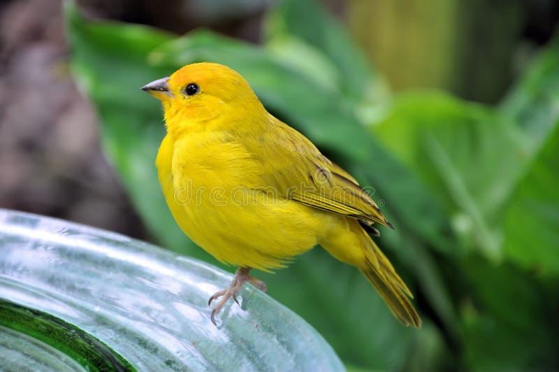 Gul fågel fotografering för bildbyråer
