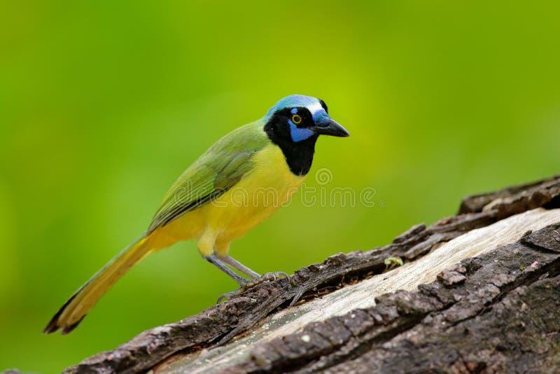Gul fågel, blått huvud för svart, lös natur Djurliv Mexico Grön nötskrika, Cyanocorax yncas, lös natur, Belize Härlig fågel från arkivfoton