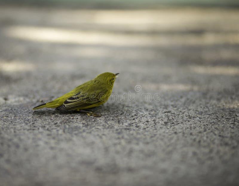 Gul fågel som stirrar i väg från kamera arkivfoto