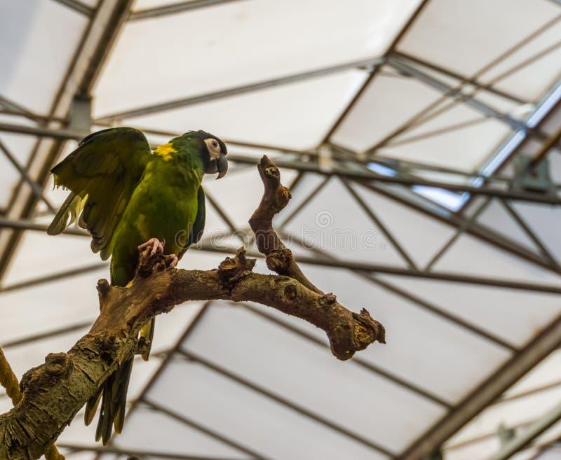 Gul försedd med krage arapapegoja som fördelar dess vingar, populärt tropiskt husdjur från Brasilien, färgrik tropisk fågel royaltyfri bild