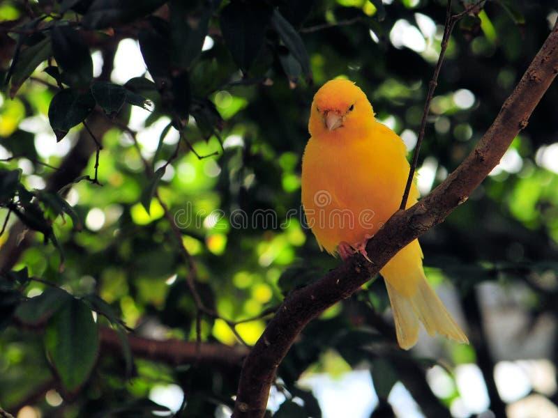 Gul finkfågel arkivbild