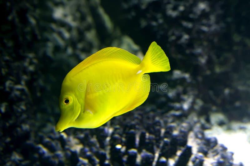 Gul fisk arkivbilder
