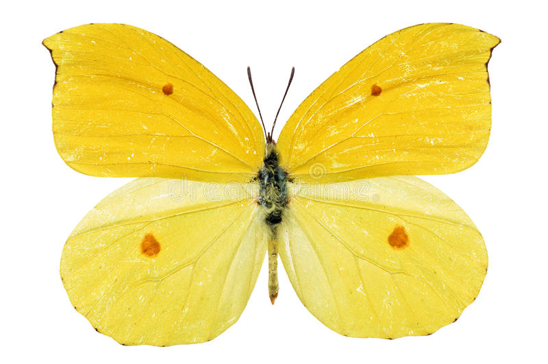 gul fjäril royaltyfri bild