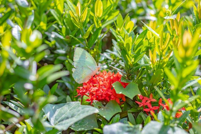 Gul fjäril på den röda Ixora blomman i trädgård arkivbild