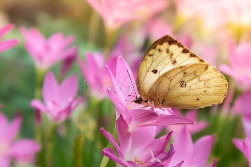 Gul fjäril på regnliljablomman som blommar i regnig säsong, felik lilja, grandiflora Zephyranthes royaltyfri fotografi