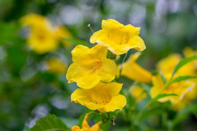 Gul fläder, Trumpetbush, Trumpetflower, gul trumpet-blomma, arkivfoton