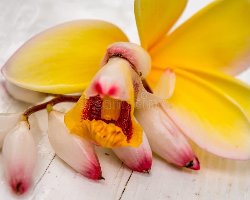 Gul Frangipani med nyanserade Shell Ginger Blossom royaltyfri fotografi