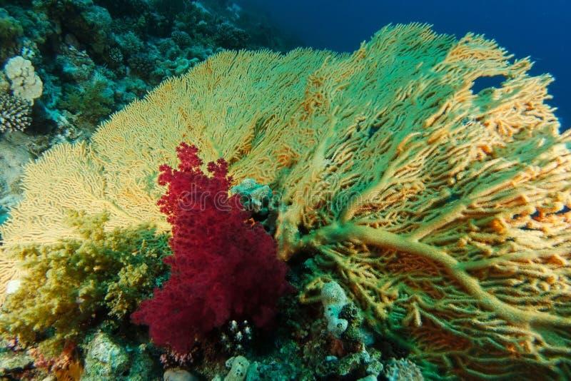 Gul gorgonia inom korallträdgården royaltyfria foton