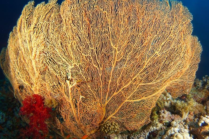 Gul gorgonia med röd mjuk korall inom korallträdgården arkivbild
