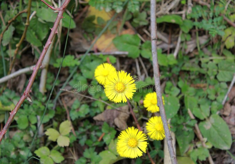 Gul gräsplan sprack ut Daisy Picture arkivbilder
