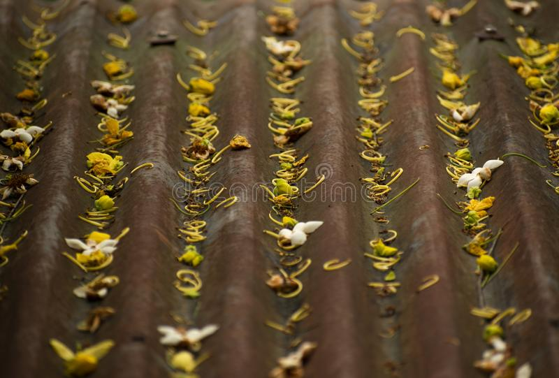 Gul guld- vår för tak för duschblommakronblad arkivfoton