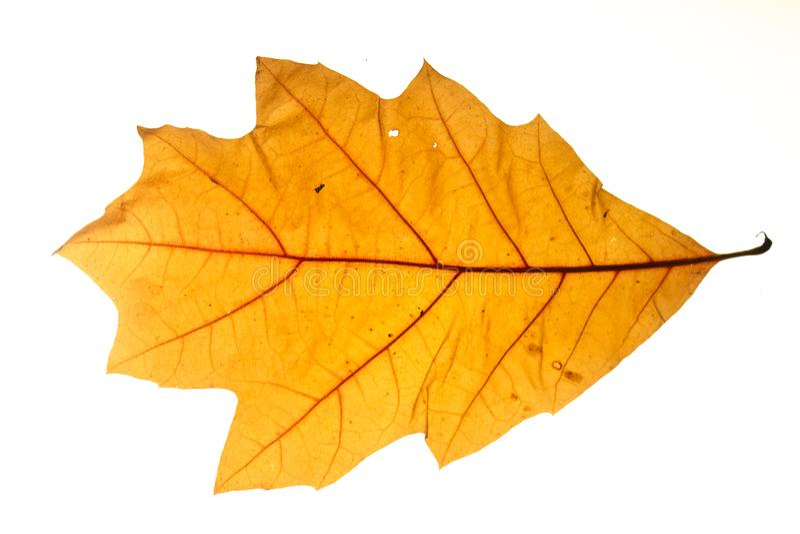 Gul höstbladek som isoleras på vit bakgrund royaltyfri fotografi