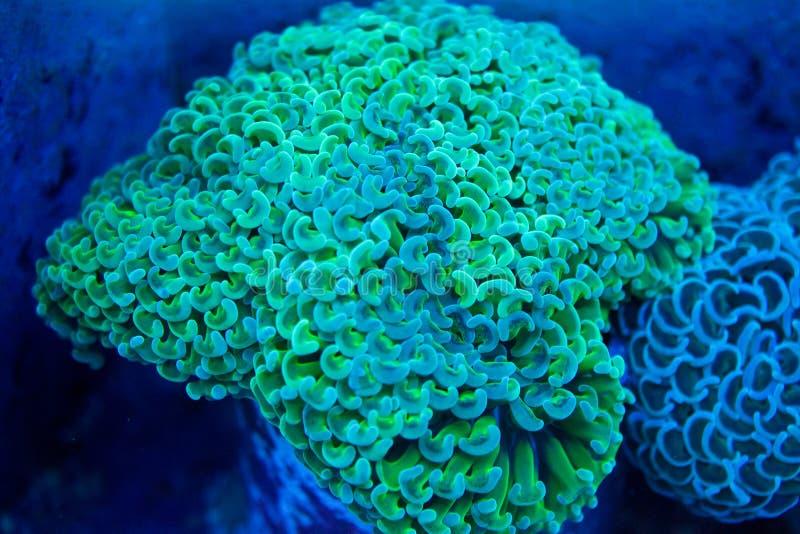 Gul hammare Coral Colony royaltyfria foton