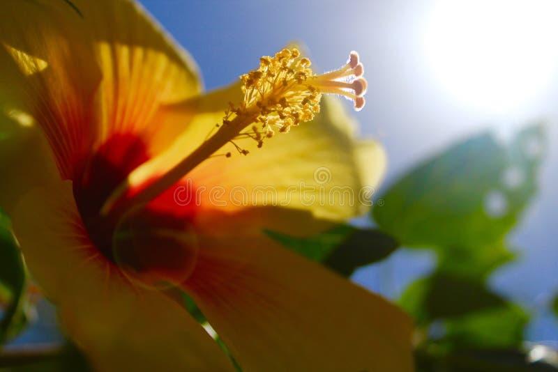Gul hibiskus arkivfoto