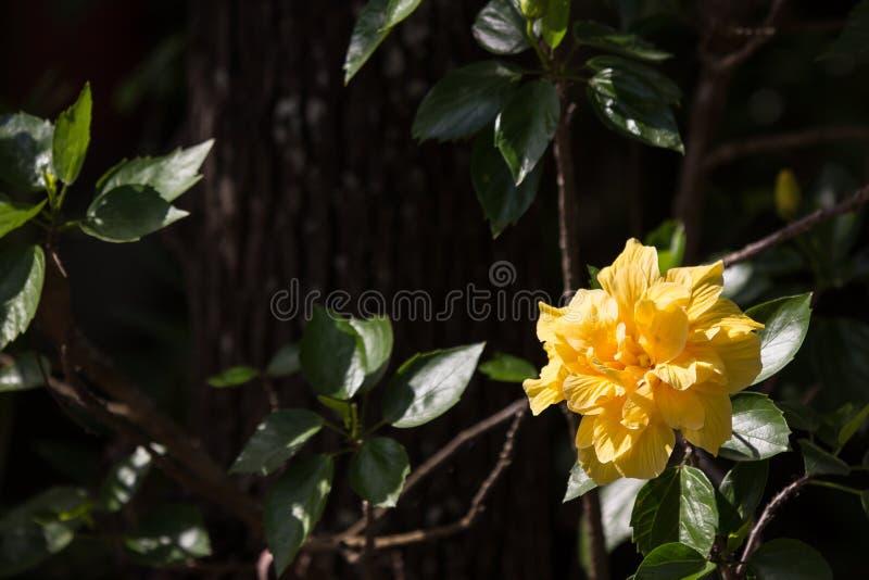 Gul hibiskusblomma i svart dardbakgrund royaltyfri bild