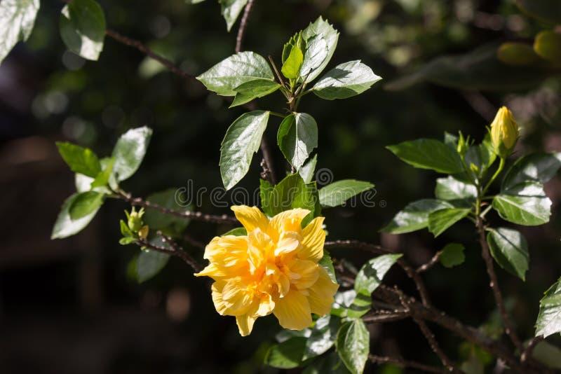 Gul hibiskusblomma i svart dardbakgrund arkivfoton
