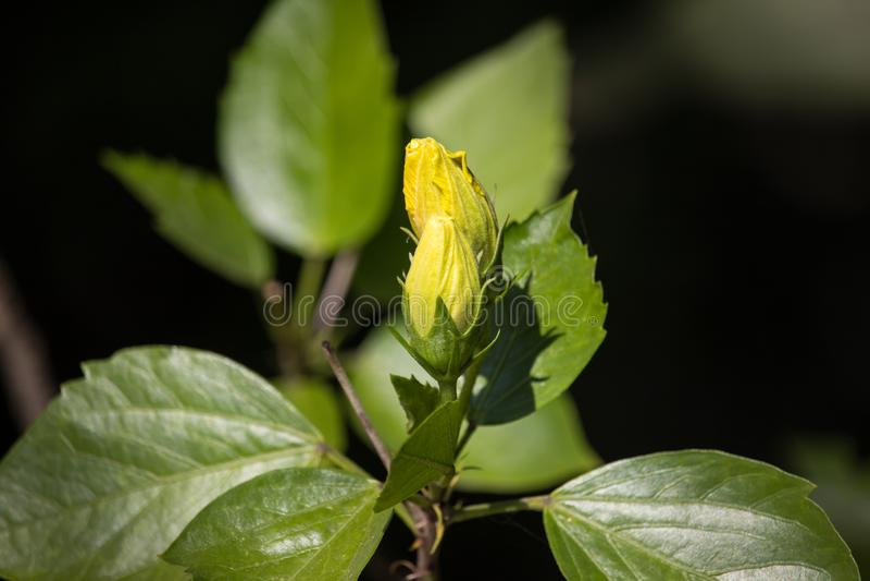 Gul hibiskusblomma i svart dardbakgrund royaltyfri fotografi