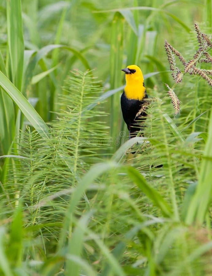 Gul-hooded Blackbird royaltyfri fotografi