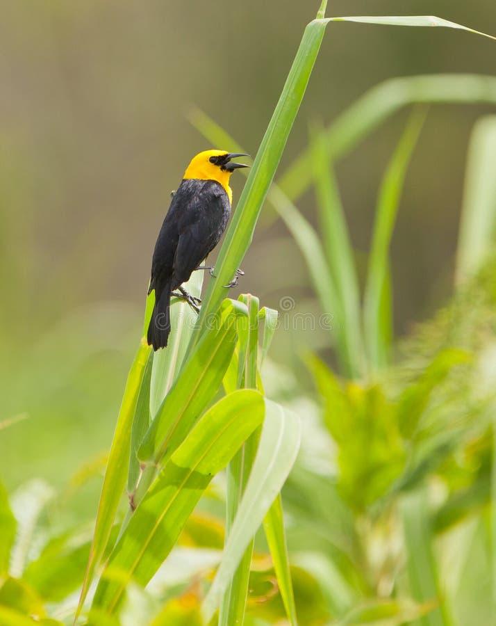 Gul-hooded Blackbird arkivbild