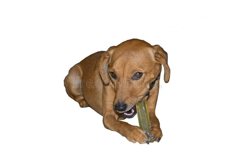 Gul hund som tuggar på det plast- benet arkivbild