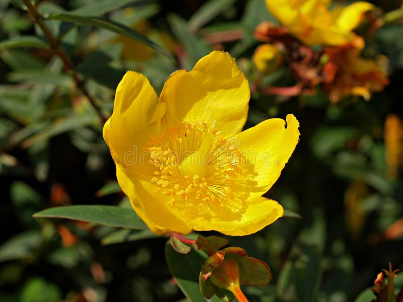 Gul HypericumHidcote blomma royaltyfria bilder