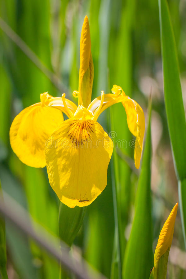Gul iris arkivfoton