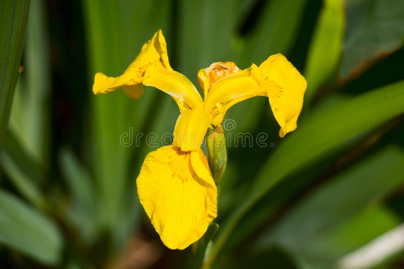 Gul iris royaltyfria foton