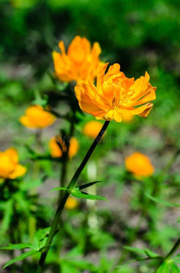 Gul jordklot-blomma i skog arkivfoton