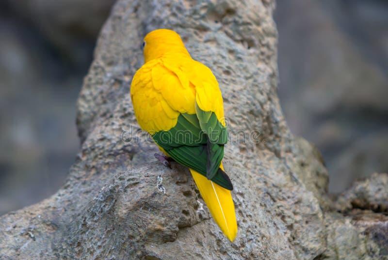 Gul kanariefågel fotografering för bildbyråer