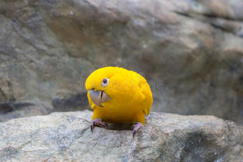 Gul kanariefågel royaltyfria foton