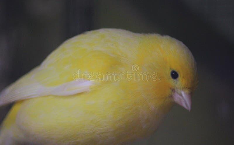 Gul kanariefågel arkivbild