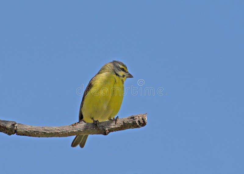 gul kanariefågel som bekläs arkivbilder