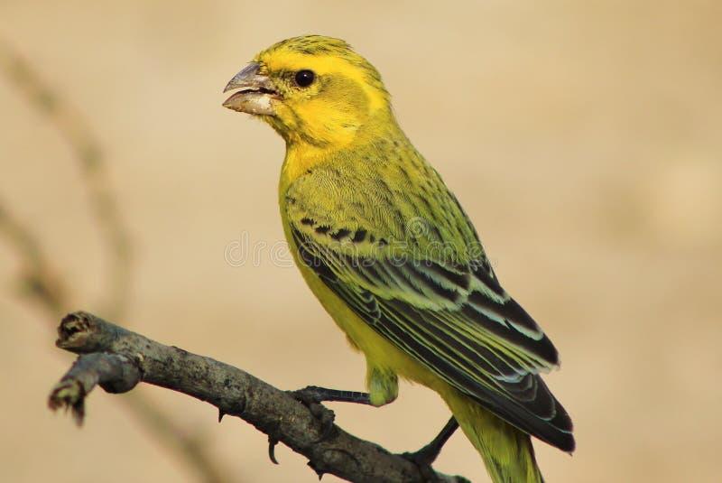 Gul kanariefågel - stående av guld arkivbilder