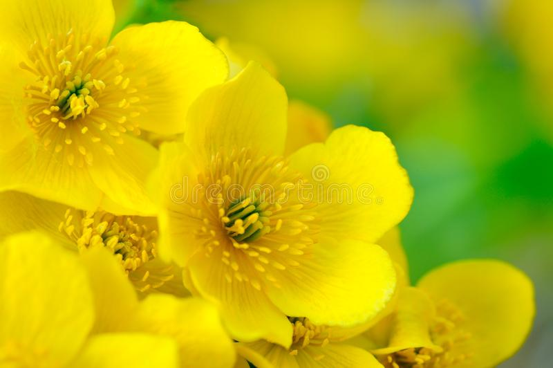 Gul Kingcup (Marsh Marigold eller calthaen Palustris) blommamakro arkivfoton