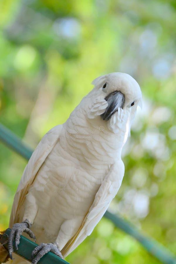 Download Gul-krönad kakadua fotografering för bildbyråer. Bild av symbol - 27277539
