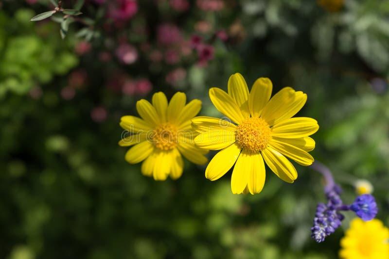 Gul krysantemum i trädgården royaltyfria bilder