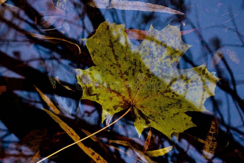 Gul lönnlöv under vatten royaltyfri fotografi