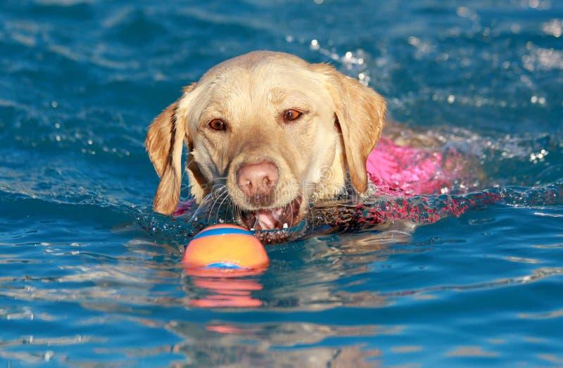 Gul Labrador simning med hans boll royaltyfri foto