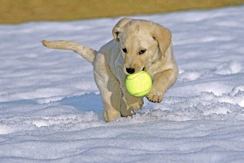 Gul labradorRetreiver valp som spelar i snö med bollen royaltyfri bild
