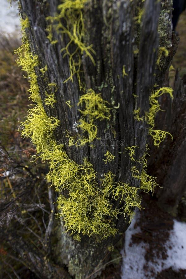 Gul lav på en ruttna trädstubbe royaltyfri bild