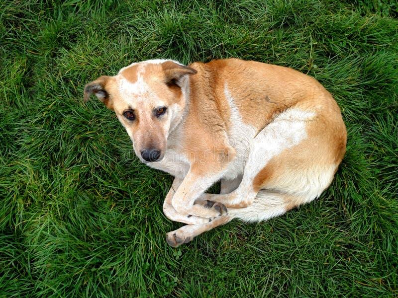 Gul ledsen seende hund som lägger på grönt gräs fotografering för bildbyråer